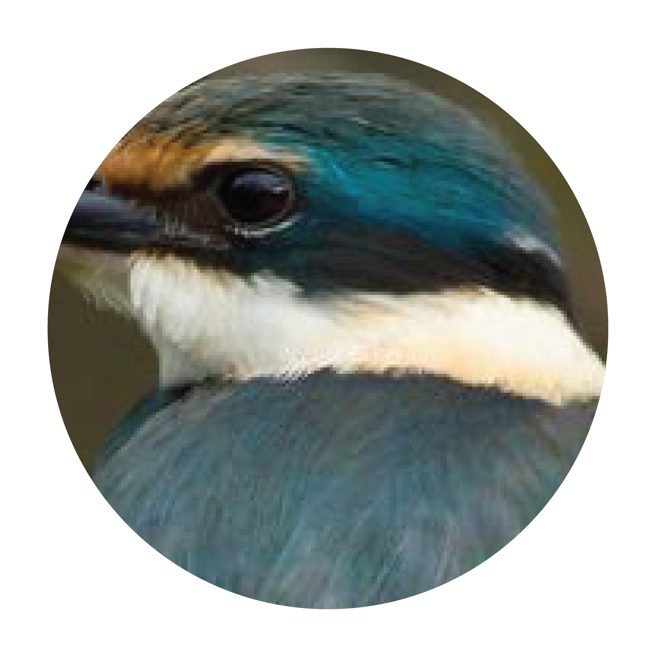 kingfisher-face-17